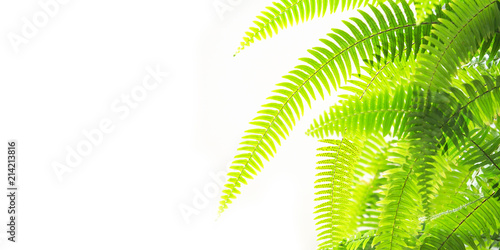 Fern isolated on white background, panoramic view. Fern green leaves, tropical plant, polypodiopsida. Soft focus