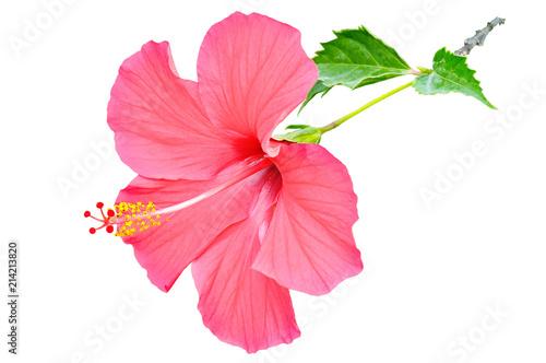 Naklejka premium Czerwony hibiskusa kwiat na białym tle.