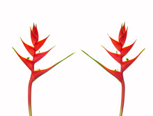 Heliconia Bihai (Red Palulu) Flower Front And Back, Beautiful Tropical Flowers Heliconia Flower Blooming  Isolate  On White Background