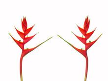 Heliconia Bihai (Red Palulu) F...