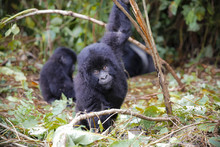 Africa, Democratic Republic Of Congo, Young Mountain Gorillas Playing In Jungle