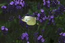 Cabbage Butterfly On Purple Bl...