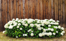 Bunch Of Beautiful Hydrangea Or Hortensia Flowers In Front Of Old Wooden Wall With Copy Space
