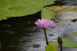 Lotus flowers in the lotus pond
