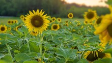 Horizontal Image Of Sunflower ...