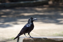 Black Raven Looking For Meal A...