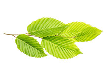 One Whole Fresh Green Plant Elm Branch With Rib Leaves Flatlay Isolated On White