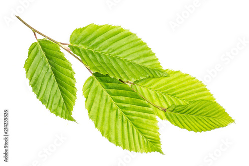 Fotografia, Obraz  One whole fresh green plant elm branch rib leaves flatlay isolated on white