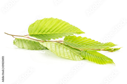 Valokuva  One whole fresh green plant elm branch with rib leaves isolated on white