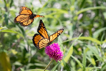Photograph Of Two Monarch Butt...