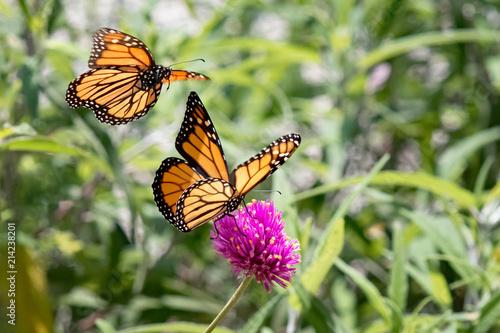 Photograph of two Monarch Butterflies in flight in the garden