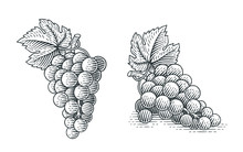 Grapes. Hand Drawn Engraving Style Illustrations.