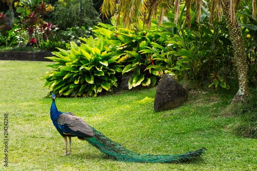 Peacock in a Tropical Garden in Hawaii