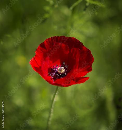 In de dag Poppy A bright red poppy against a green background