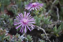 Mesembryanthemum Pink Flowers