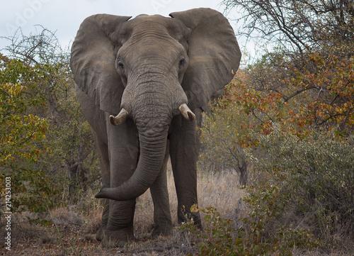 Fototapety, obrazy: Elephant
