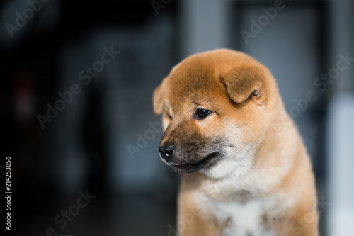 Door stickers Dog Profile portrait of lovely Shiba Inu dog puppy on a dark background. Red Japanese cute puppy