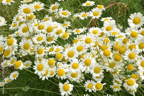 Papiers peints Narcisse Marguerites en été