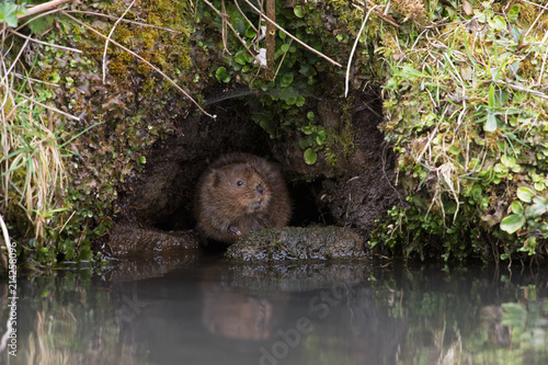 Printed kitchen splashbacks Water Vole (Arvicola amphibius)/Water Vole in a burrow in the side of a canal bank