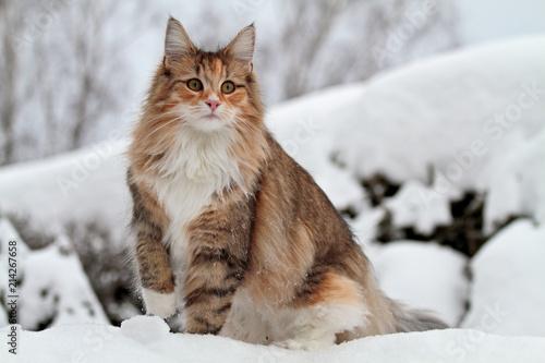 Ingelijste posters Kat Norwegian forest cat in winter scenery