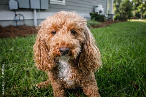 Fotografia, Obraz Fluffy Redhead Bichon Poodle Bichpoo Dog Outside in Yard