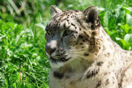 Plakat Snow Leopard