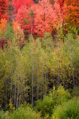 Fototapeta Do biura Autumn Fall Birch Tree with Coloful Leaves and White Trunk