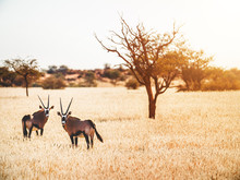 Oryx In Kalahari