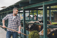 Middle Aged Farmer In Checkered Shirt Feeding Cows With Grass At Ranch
