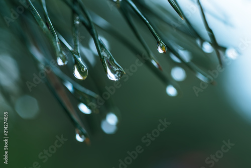 Fotografiet Abstract background from conifer evergreen pine tree branches with dew water dro