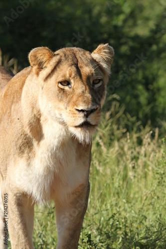 Zdjęcie XXL Kobieta lew stojący