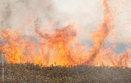 Obraz na plátně Feldbrand, brennendes Weizenfeld