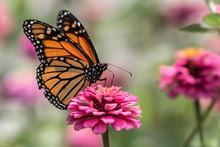 A Monarch Butterfly Rests On Top Of A Zinnia Flower In A Summer Garden