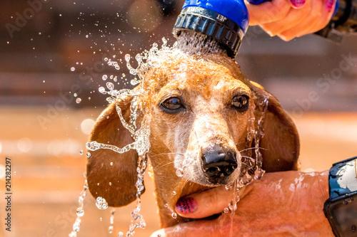 Fotografie, Obraz  Miniature Dachshund Heatwave