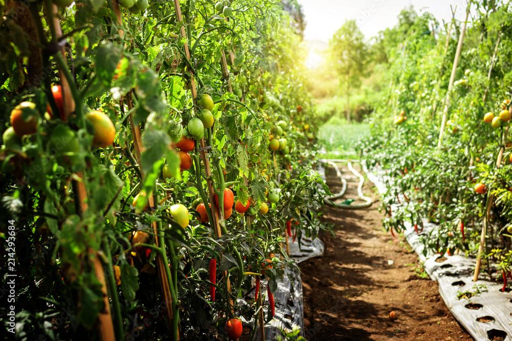 Fototapety, obrazy: Branch of fresh tomatoes hanging on trees in organic farm, Bali island. Organic tomato plantation.