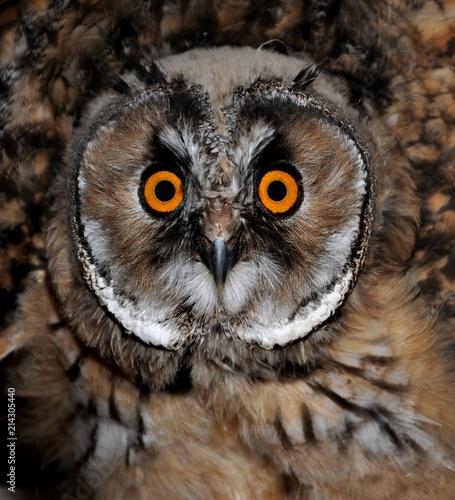 Photo sur Toile Croquis dessinés à la main des animaux Owl close up