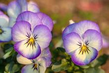 Purple Pansy Flowers In The Garden