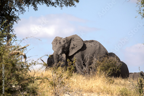 Staande foto Leeuw African elephant, Loxodonta a.africana, in Boteti river, Makgadikgadi National Park, Botswana