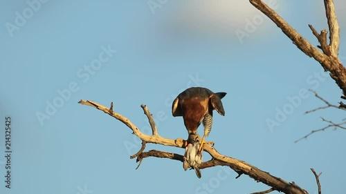 Photo  A red-necked falcon (Falco chiquera) eating bird prey, South Africa
