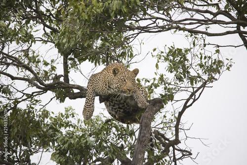 Plakat Gepard spaceru i odpoczynku na gałęzi drzewa w Afryce
