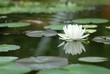 White lotus in the pool.