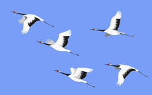 Flying Japanese Stork Flock