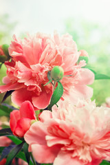 FototapetaBeautiful peony flowers. Floral background