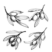 Olive Sketch Element Collection. Olive Branch Is Hand-drawn. Sketch Of Olive Branch On White Background
