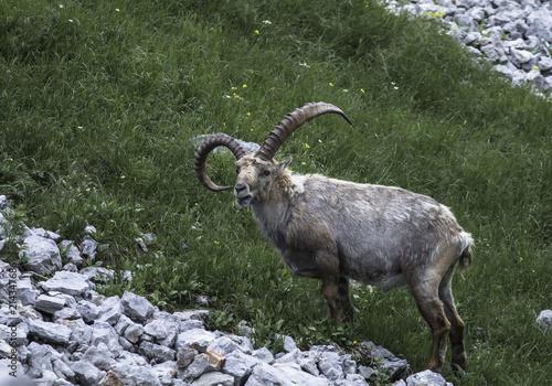 Fotografie, Obraz  Steinbock capra ibex