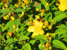 Yellow Flowers St. John's Wort Shrub Hidcote, Hypericum Patulum Hidcote. Flowers In The Bright Sunset, Tutsan