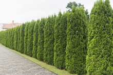 Green Hedge Of Thuja Trees. Green Hedge Of The Tui Tree. Nature, Background.