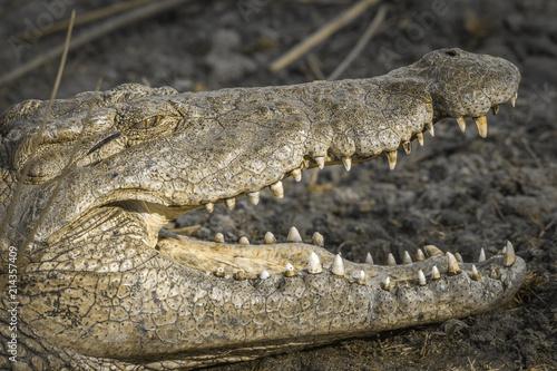 Zdjęcie XXL Krokodyl nilowy w Parku Narodowym Krugera w RPA; Specie Crocodylus niloticus rodzina Crocodylidae
