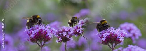 Foto op Plexiglas Bee bumblebees on the garden flower - macro photo