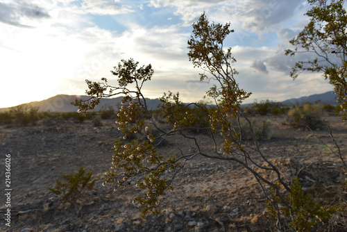 Fotobehang Wit Mojave Desert bush blooming with tiny white wildflowers in vast desert landscape with mountain range and cloudy sky in Pahrump, Nevada, USA